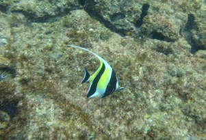 Moorish Idol (Kihi Kihi)