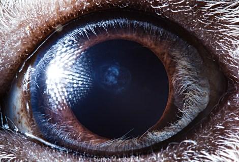 hayvan gözü guinea pig