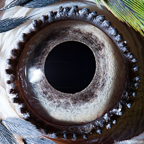 hayvan gözü papağan
