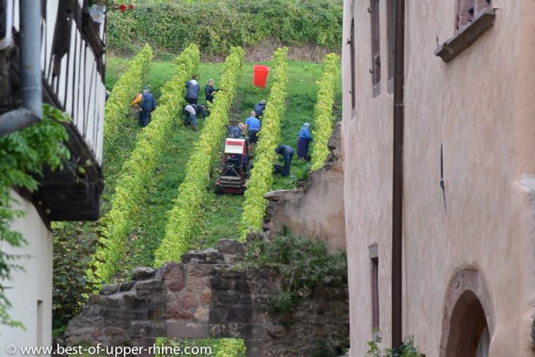 Vendange d'une parcelle de Dopff au Moulin sur le Grand Cru Schoenenbourg de Riquewihr, vu depuis la rue des Cordiers.