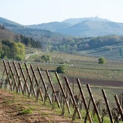 Le vignoble de l'Oberberg et le château du Haut-Koenigsbourg à l'horizon.