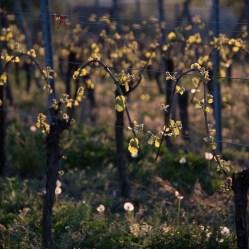 Jeunes pousses dans le vignoble de Riquewihr.