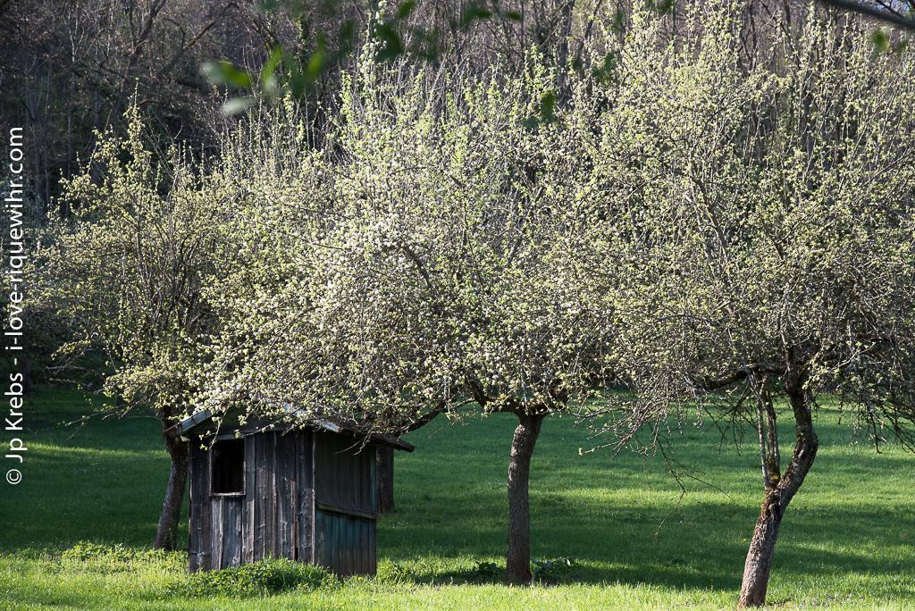 Une cabane dans un verger, sur le chemin de Hunawihr…