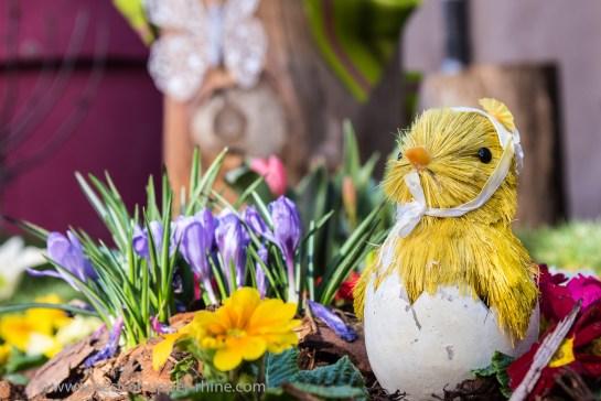 Un poussin de paille à peine sorti de l'œuf veut profiter du printemps…