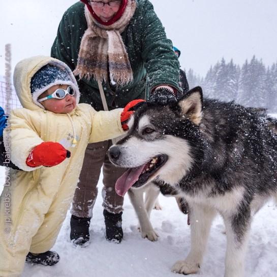 Le bébé fait une caresse au malamute, chien de traîneau.