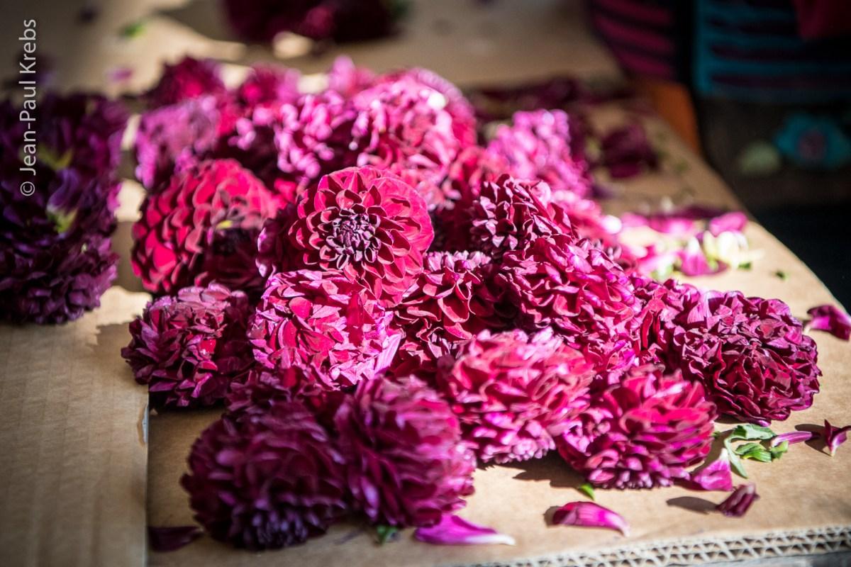 Sélestat, le corso fleuri aux 500000 dahlias !