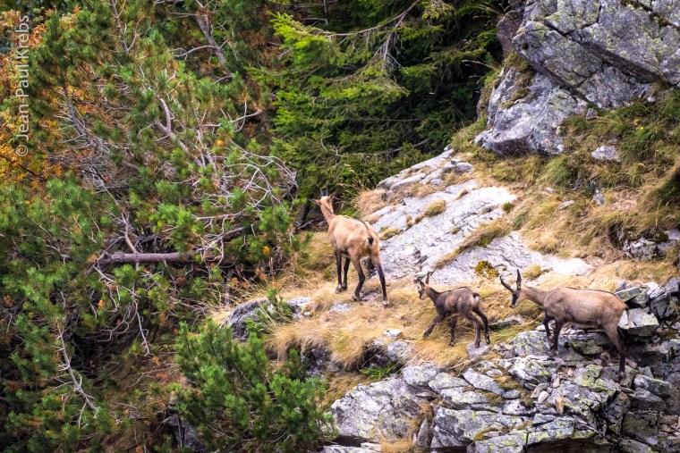 Groupe de chamois au-dessus du lac Blanc
