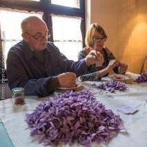 Prélèvement des stigmates des fleurs de safran.