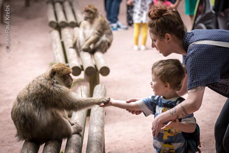 La montagne des singes à Kintzheim, découvrez 200 macaques
