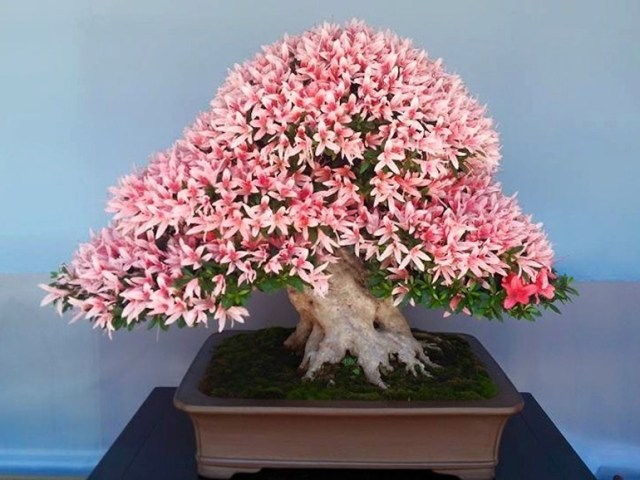 01-flowering-azalea-bonsai