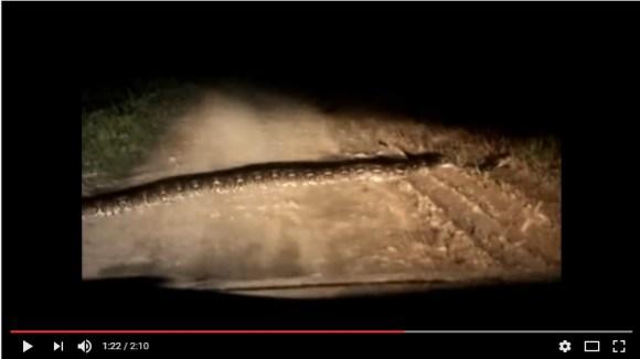 Merinding Liat Ular Segede Itu Nyeberang Jalan Depan Mobil