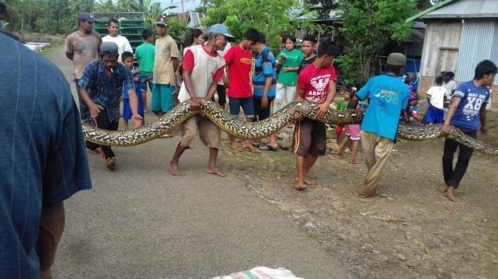 ular-piton-di-sulawesi