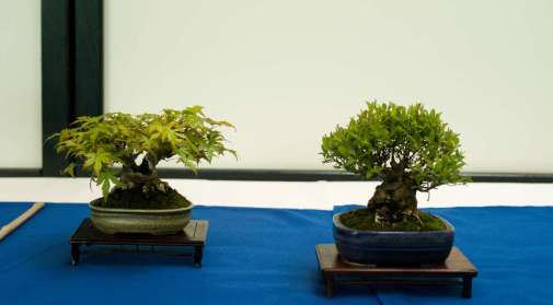 Japanes Maple and Spirea, Mame-bonsai, Morten Albek