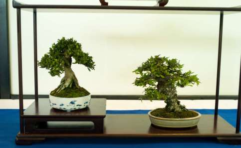Lonicera nitida and Chinese Cork Bark Elm, Shohin, Morten Albek