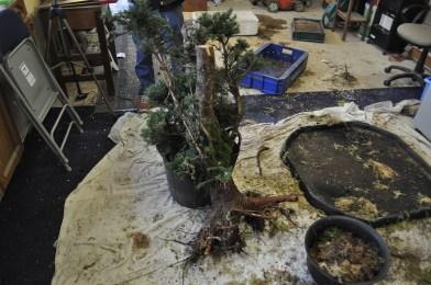 Smaller Spruce for potting