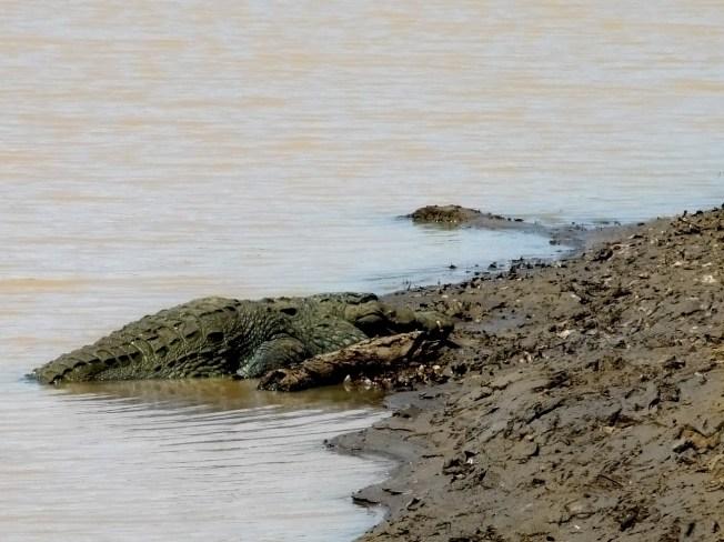 Crocodile, Udawalawe National Park, Sri Lanka
