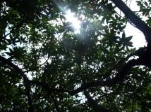 Under the mangroves, Sri Lanka