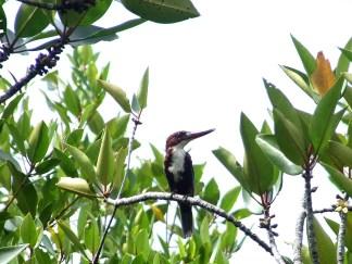 Kingfisher, Sri Lanka