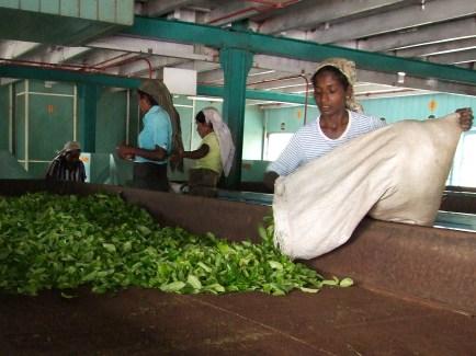 Workers drying tea leaves