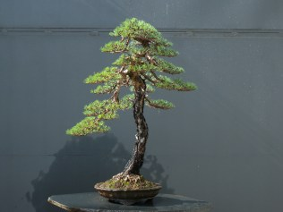 p.sylvestris