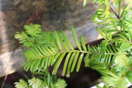 Conifer foliage 013