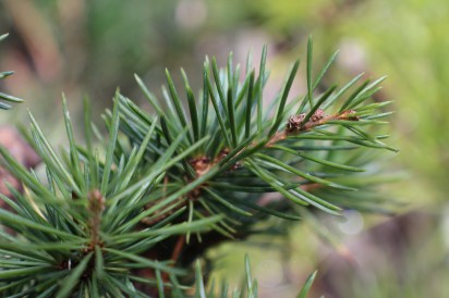 Conifer foliage 016