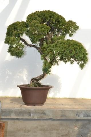 Juniperus chinensis, before - Juniperus chinensis, avant