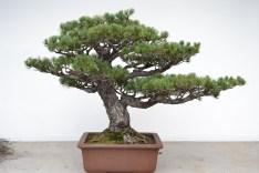 Pinus parvifolia, before - Pinus parvifolia, avant