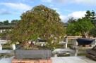 Bougainvillea glabra, weeping style penjing - Penjing style pleureur