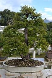 Sageretia thea, Twin trunk style penjing