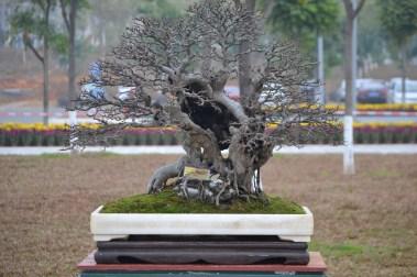 Ulmus parvifolia, after - Ulmus parvifolia, après