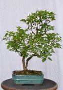 Lilac bonsai - Bonsai de lilas japonais