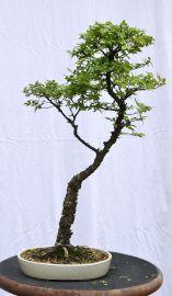 Cork bark Chinese elm - Ulmus parviflora 'corticosa'?