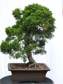 Juniperus chinense 'Itoigawa', 2+inch diameter
