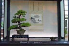 Pinus thubergii 'Nishiki' coll. penjing
