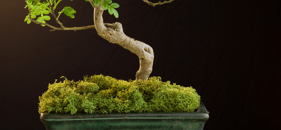 Using Moss as Top Dressing for Bonsai Trees – What to Know