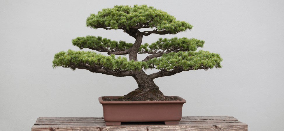 Take Care of Your Boxwood (Buxus spp.) Bonsai Like This!