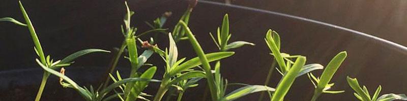 Bonsai uit zaad