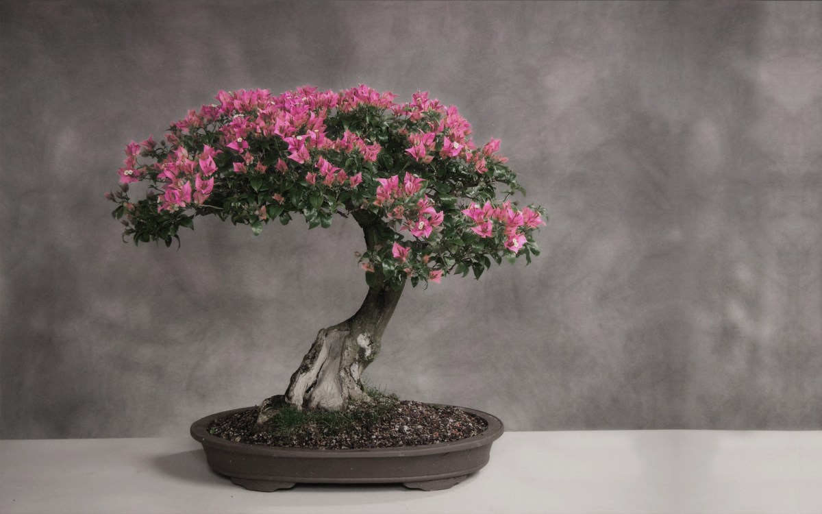 Buying and Raising a Bonsai - There is a lot that you need to keep in mind