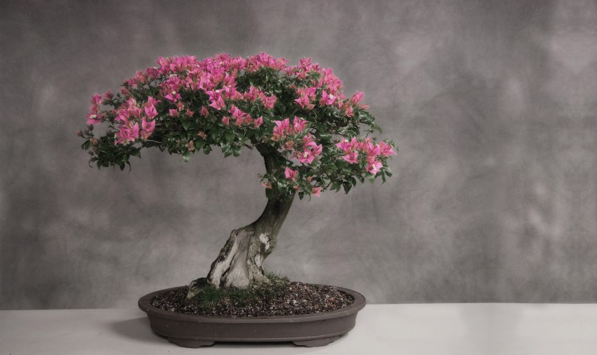 Buying and Raising a Bonsai