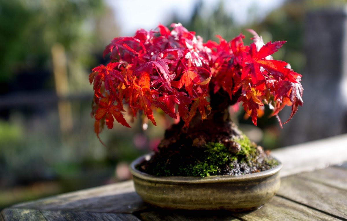 The Japanese Maple Bonsai