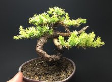 Juniper Bonsai - One of the most versatile styles that you can grow