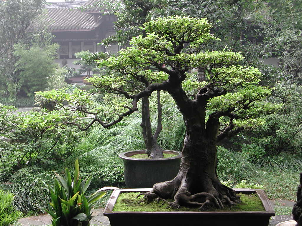 The Art of Growing a Bonsai - An ancient art of growing trees