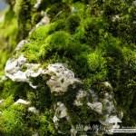 [附石]樹、石、苔,共生の趣(1)