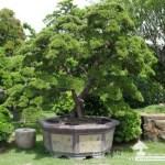 [庭園樹]優雅.真柏(1)