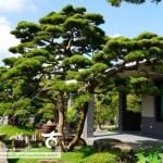 [真柏]時間醞釀の庭園真柏(3)