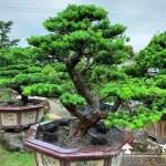 [晶鑽羅漢松]大型盆栽.整理