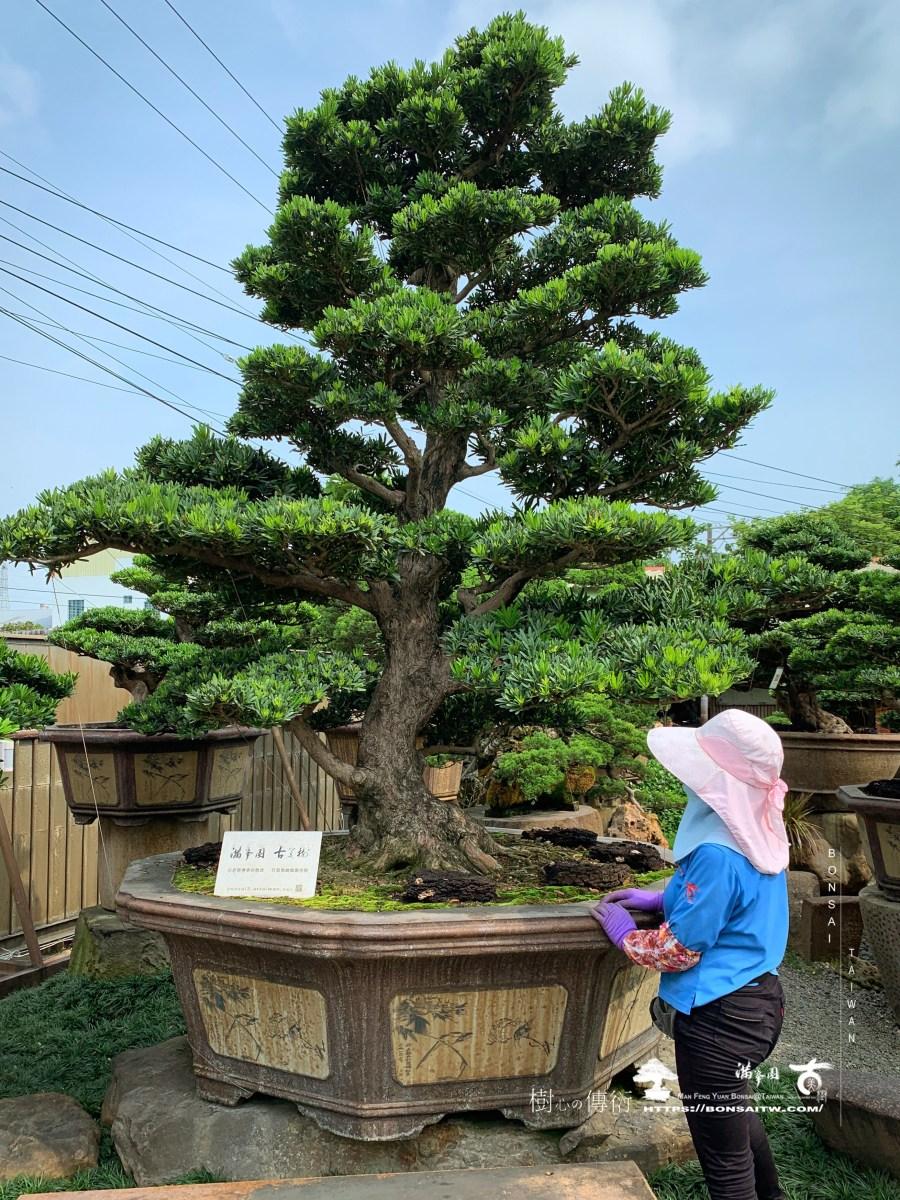 [羅漢松]庭園樹.整理