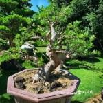 [紅芽羅漢松] 大型盆景.整理整枝