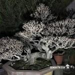 [象牙樹]等待,是為了下一次的蛻變(28)